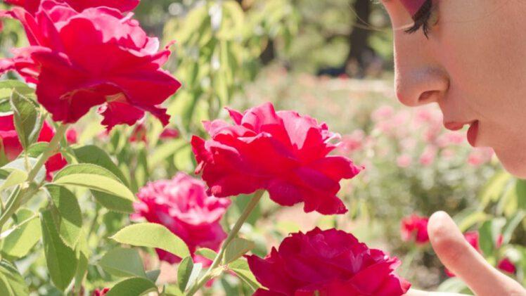 pachnace roze w ogrodzie